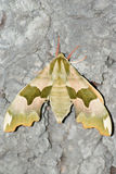 Lime hawk (Mimas Tiliae). Closeup shot of lime hawk moth (Mimas Tiliae) sitting on tree bark royalty free stock photography