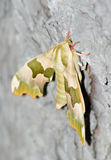 Lime hawk (Mimas Tiliae) Stock Image