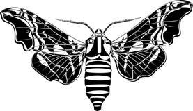 Lime hawk-moth Stock Photos