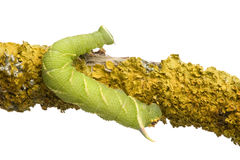 Lime Hawk-moth caterpillar - Mimas tiliae Royalty Free Stock Photography