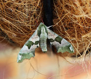 Lime Hawk Moth resting Royalty Free Stock Photo