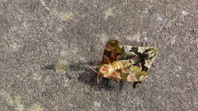 Lime Hawk moths mating top view. Pair of camouflage colors colours Mimas tiliae, known as the Lime Hawk-moth, moths butterflies mating on the grey gray pavement stock footage