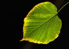 Lime leaf against the sun stock photo