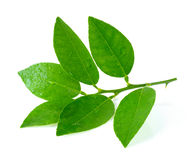 Lime leaf stock photography