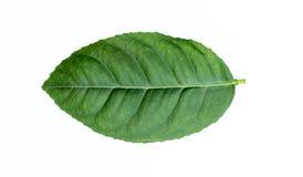 Lime leaf isolated white background Royalty Free Stock Photo
