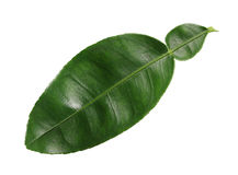 Lime Leaf Stock Images