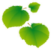 Lime Leaves. Young green leaves of a linden. There is a variant in a vector Stock Images