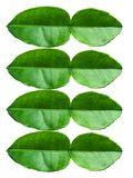 Lime leaves Stock Photos