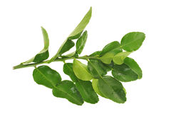 Lime Leaves Stock Images