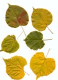 Lime leaves Stock Image