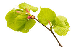 Lime leaves of the tree. Stock Images