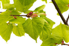 Lime leaves of the tree. Stock Image