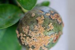 Lime ,Plant disease, Citrus canker stock image