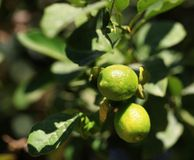 Lime. Lemon tree nature kind fruit trees fruit leaf citrus fruit stock images