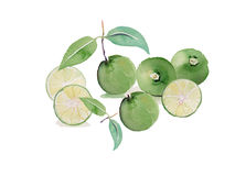 Lime ,lemon watercolor illustration vector background Royalty Free Stock Photography