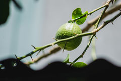 Lime on the lime tree. Giant lime on the lime tree Stock Photos