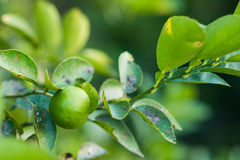 Lime on lime tree. Green stock photo