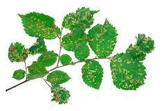 Lime nail gall - Eriophyes tiliae Stock Photography