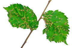 Lime nail gall - Eriophyes tiliae Royalty Free Stock Image