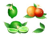 Lime and orange citrus fruits vector illustration royalty free illustration