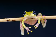 Lime reed frog / Hyperolius fusciventris Royalty Free Stock Photo