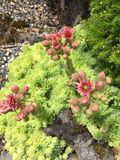 Lime sedum with Pink Flowers. Lime Green Sedum Succulent with Pink Flowers blooming in Rock Royalty Free Stock Photos