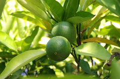 Lime in the shade. Of leaves Stock Photo