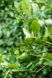 Lime sitting on a tree branch. A lime sitting on a branch of a lime tree, vibrant green bright royalty free stock image
