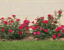 Lime stone and Roses. Miniature roses growing by limestone wall Stock Images