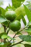 Lime on the surface of the lemon trees. Stock Photo