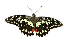 Lime Swallowtail Royalty Free Stock Images