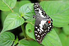 Lime swallowtail butterfly Stock Photos