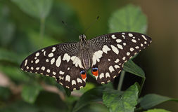 Lime Swallowtail Royalty Free Stock Photos