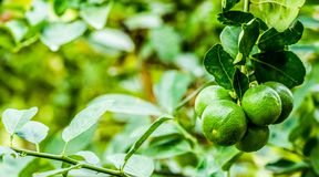 The Lime royalty free stock photography