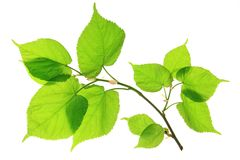 Lime (Tilia). Branch with leaves in spring isolated in front of white background Stock Photography