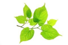 Lime (Tilia) Stock Photo