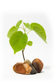 Lime tree Royalty Free Stock Photography