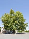Lime Tree stock photo