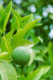 Lime tree stock image
