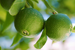 Lime tree. Close up shoot of lime on a lime tree royalty free stock photos