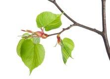 Lime tree Stock Photos