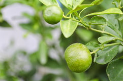 Lime at the tree Royalty Free Stock Photography