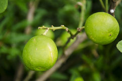 Lime at the tree. Leaves of the lemon and lime tree branches stock photo