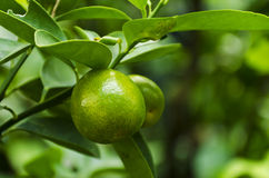 Lime at the tree Stock Photography