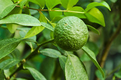 Lime at the tree. Leaves of the lemon and lime tree branches stock photos