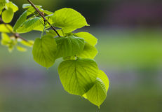Lime tree. Spring branch of lime tree Stock Images