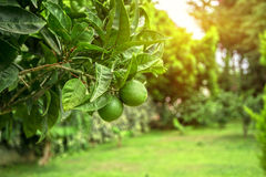 Free Lime Tree Stock Photography - 58122172