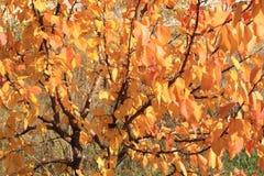 Lime tree. Golden lime tree foliage. November Royalty Free Stock Photos