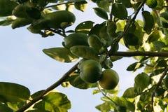 Free Lime Tree Stock Photos - 85463153