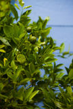 Lime tree against the background of wooden wall Stock Image